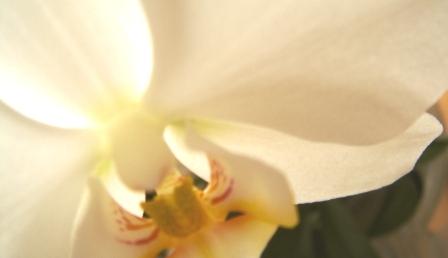 Orchidee_